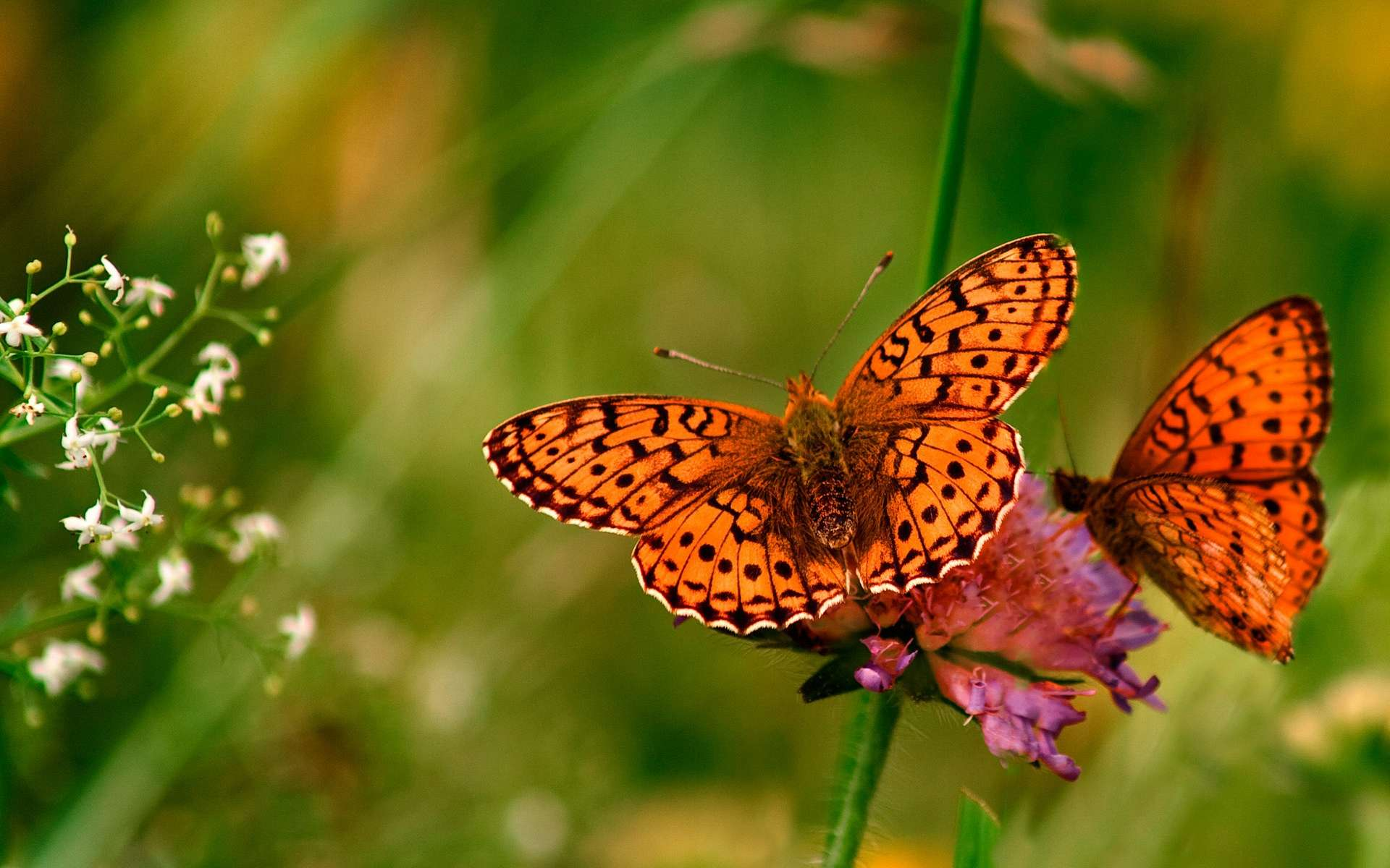 Animal - Butterfly Wallpaper