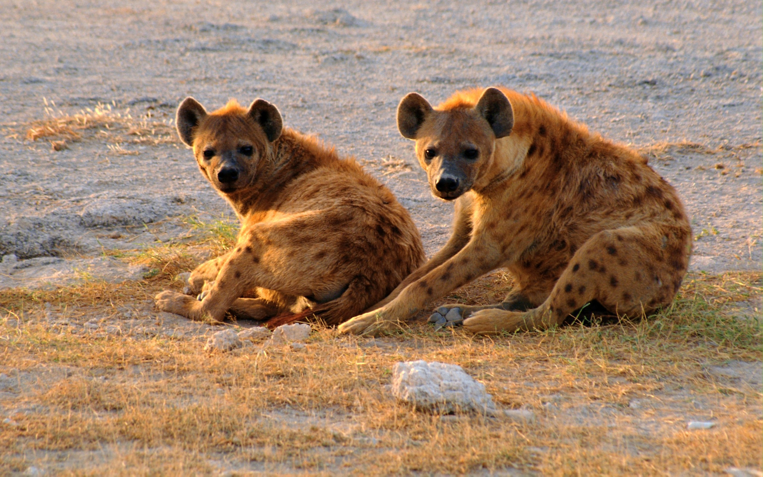 Hyena Full HD Wallpaper and Background Image | 2560x1600 ...