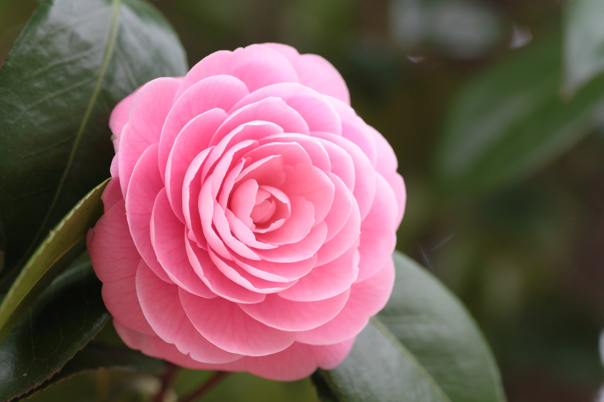 27 camellia hd wallpapers background images wallpaper abyss hd wallpaper background image id367205 mightylinksfo