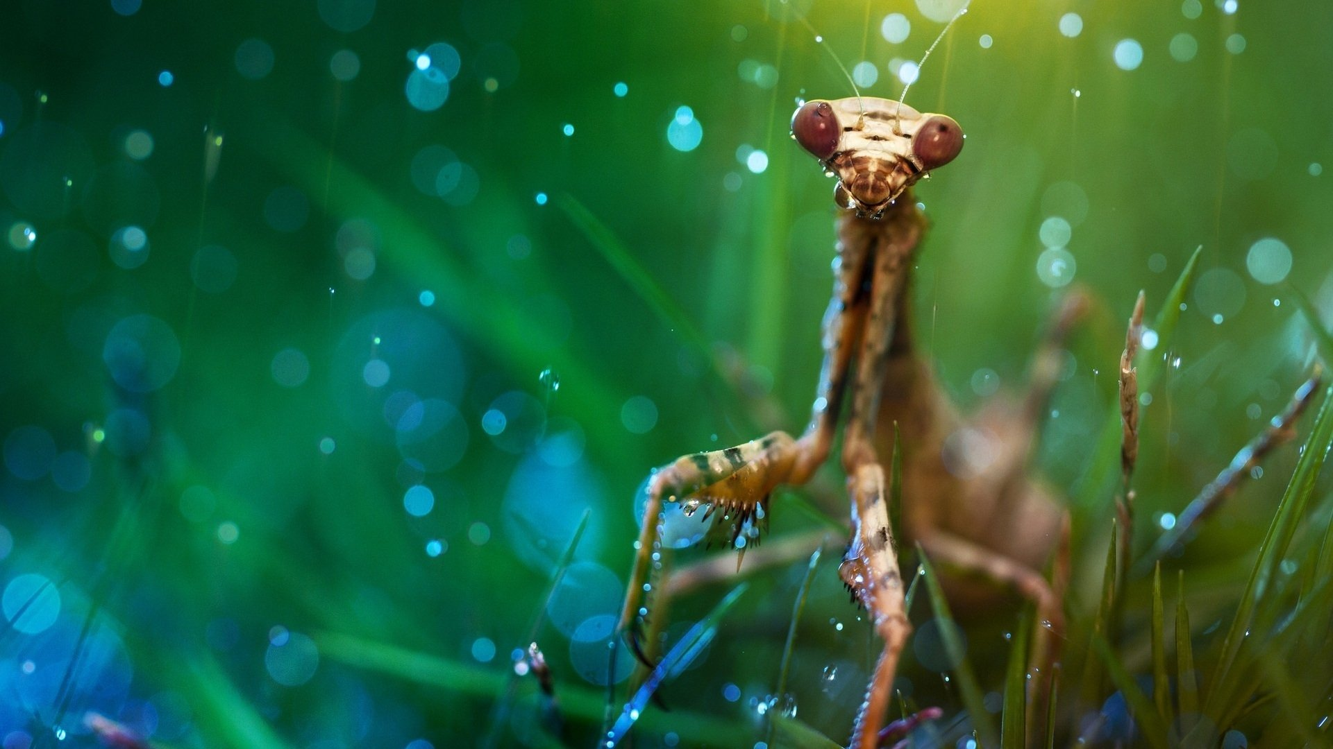 16 praying mantis hd wallpapers | background images - wallpaper abyss