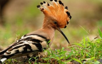 Animal - Hoopoe  Wallpapers and Backgrounds ID : 367428