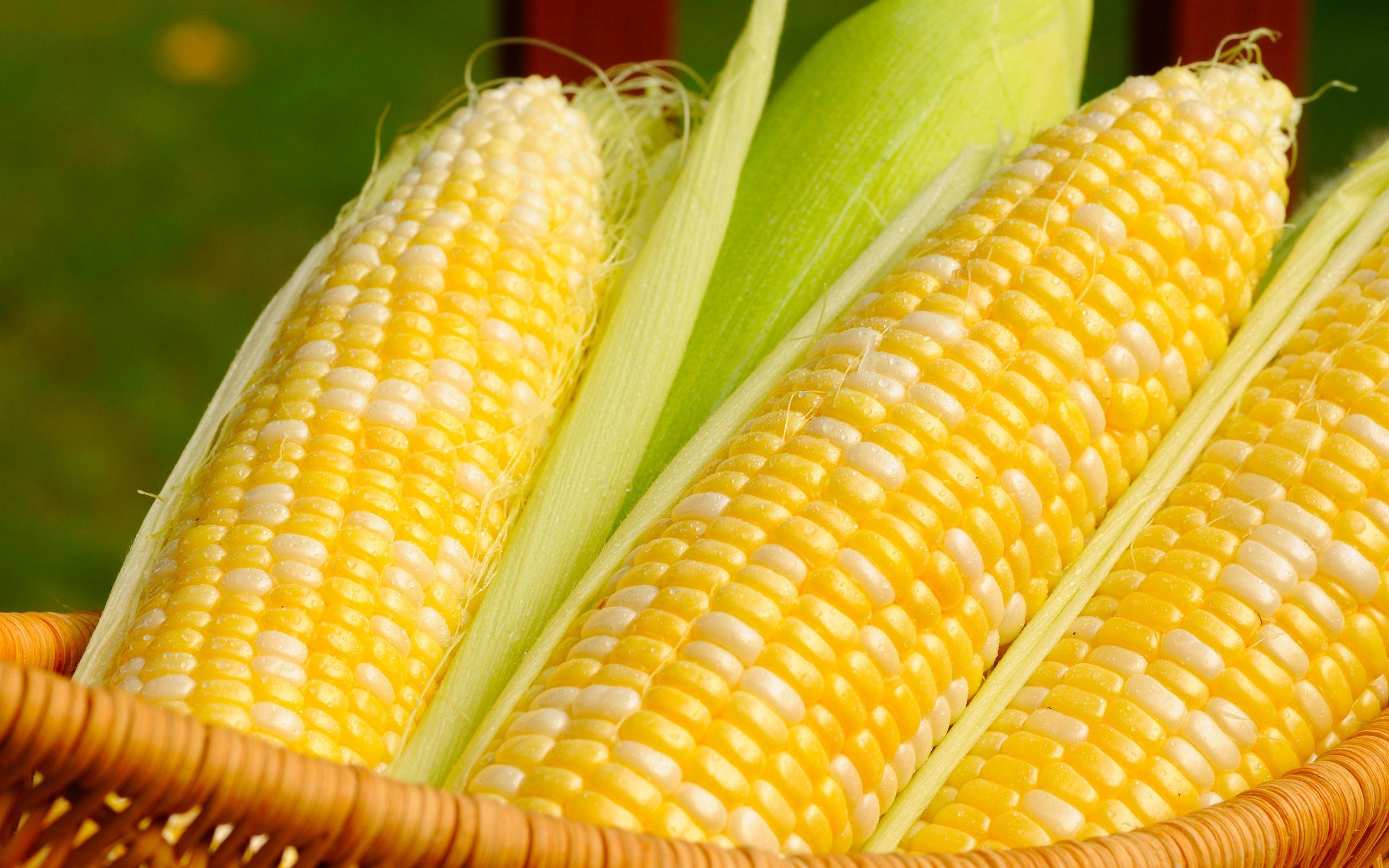 Maize Wallpaper For Presentation: Corn HD Wallpaper