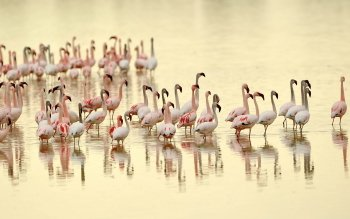 Animal - Flamingo Wallpapers and Backgrounds ID : 368019