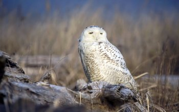 Djur - Snowy Owl Wallpapers and Backgrounds ID : 368061