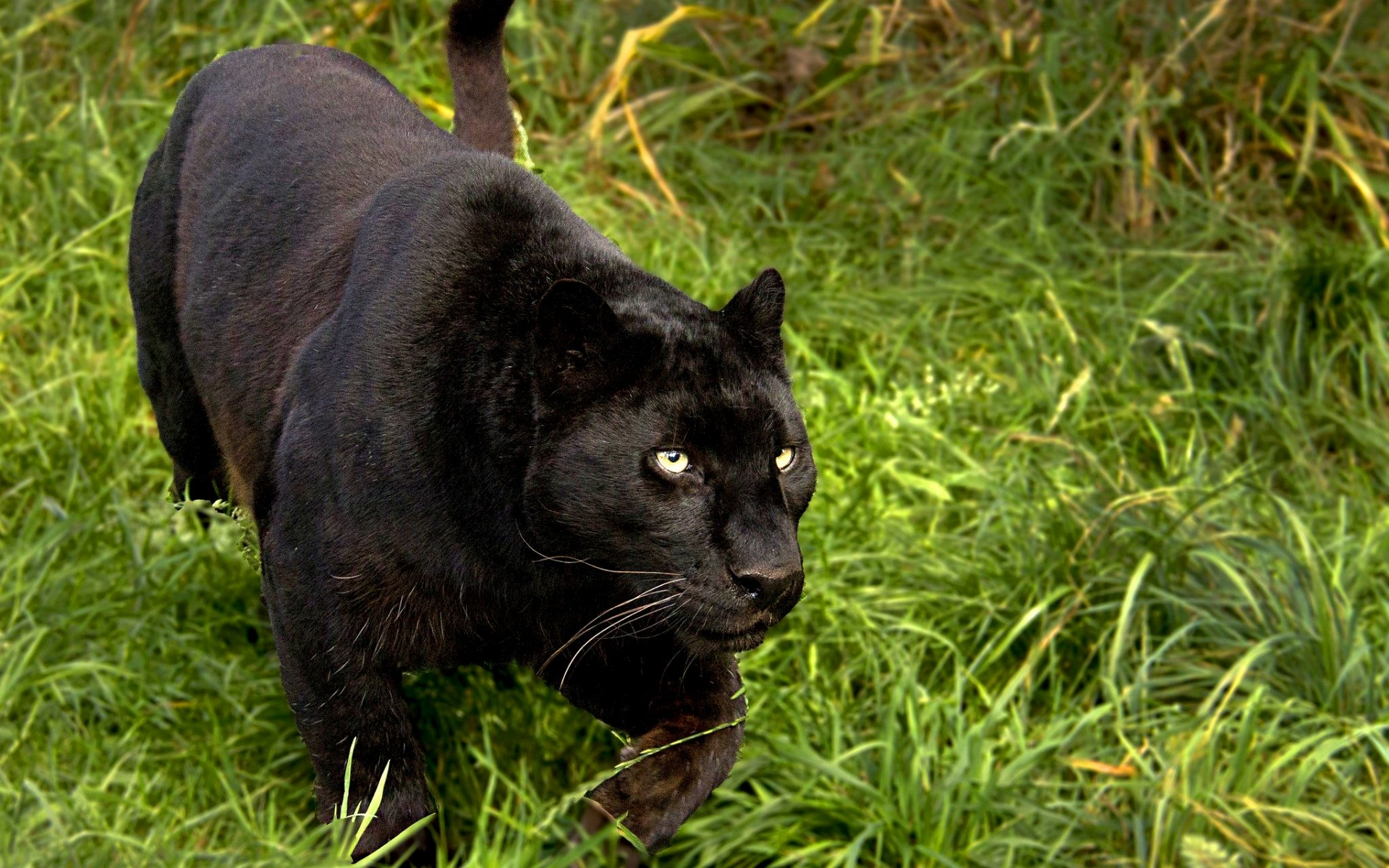 black panther animal wallpapers: Black Panther Full HD Wallpaper And Background