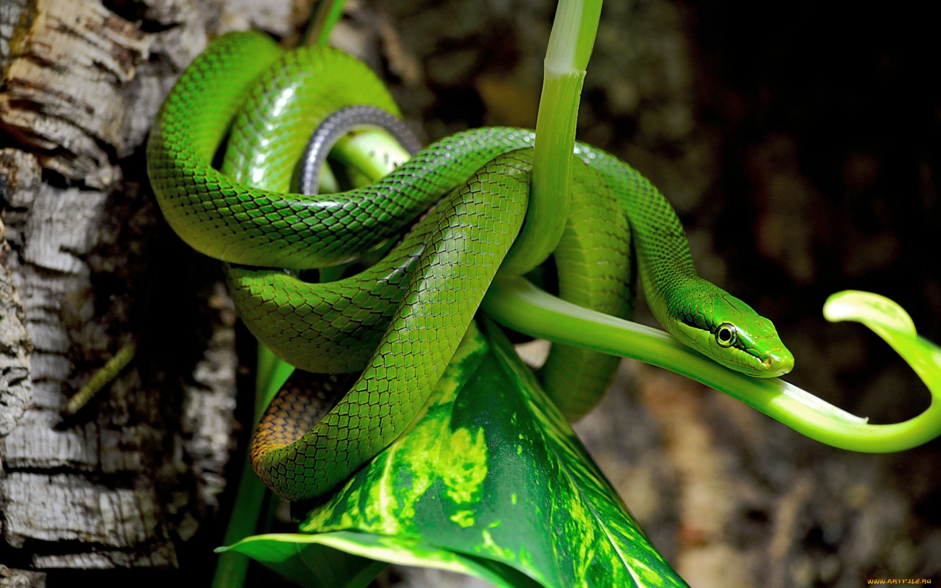 Snakes Wallpapers Super Snakes Images