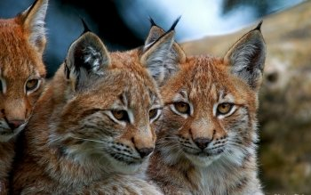 Animal - Lynx Wallpapers and Backgrounds ID : 369232