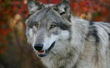 Animal - Wolf Wallpapers and Backgrounds ID : 369765