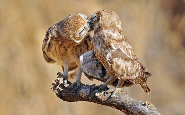 Animal Owl Birds Owls HD Wallpaper   Background Image