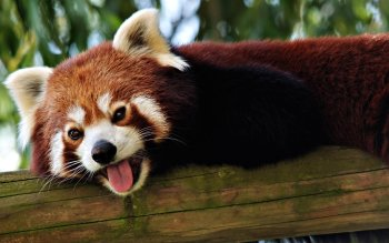Animalia - Red Panda Wallpapers and Backgrounds ID : 370118