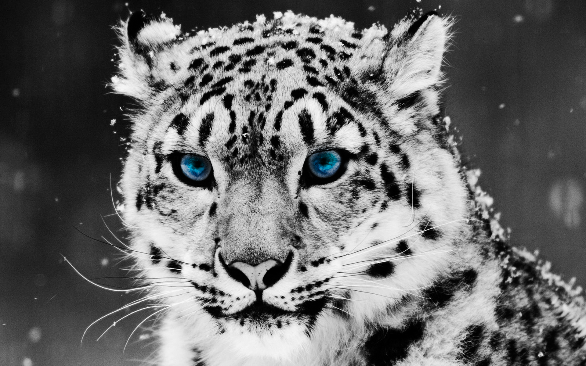 Животные - Снежный барс  Кот Милые Тигр Обои