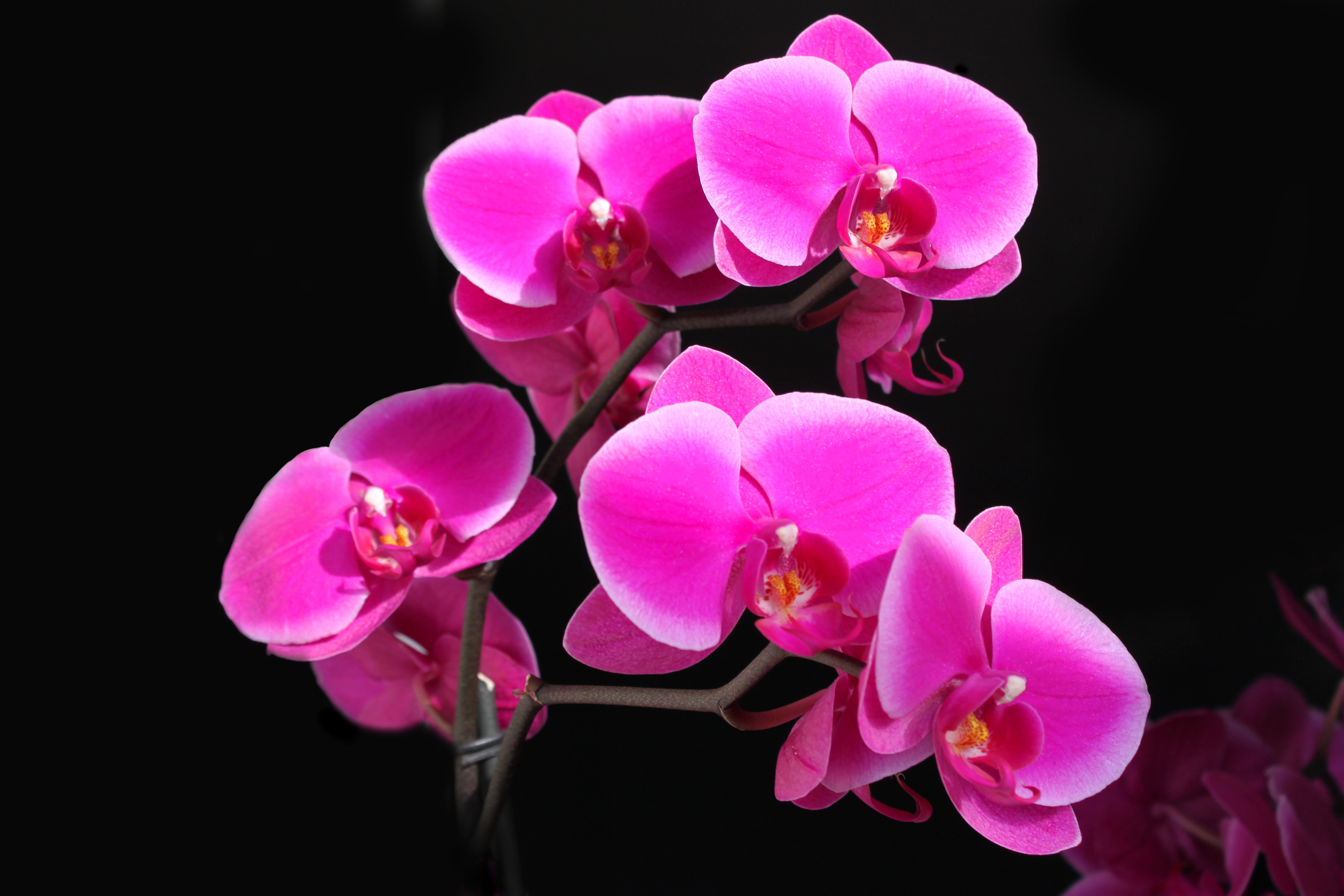 240 Orchid Hd Wallpapers Background Images Wallpaper Abyss