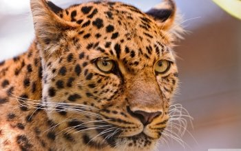 Animal - Leopard Wallpapers and Backgrounds ID : 371339