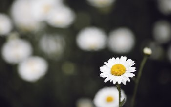 Earth - Daisy Wallpapers and Backgrounds ID : 371682