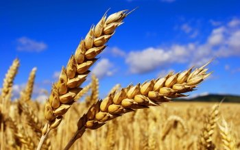 Earth - Wheat Wallpapers and Backgrounds ID : 372212
