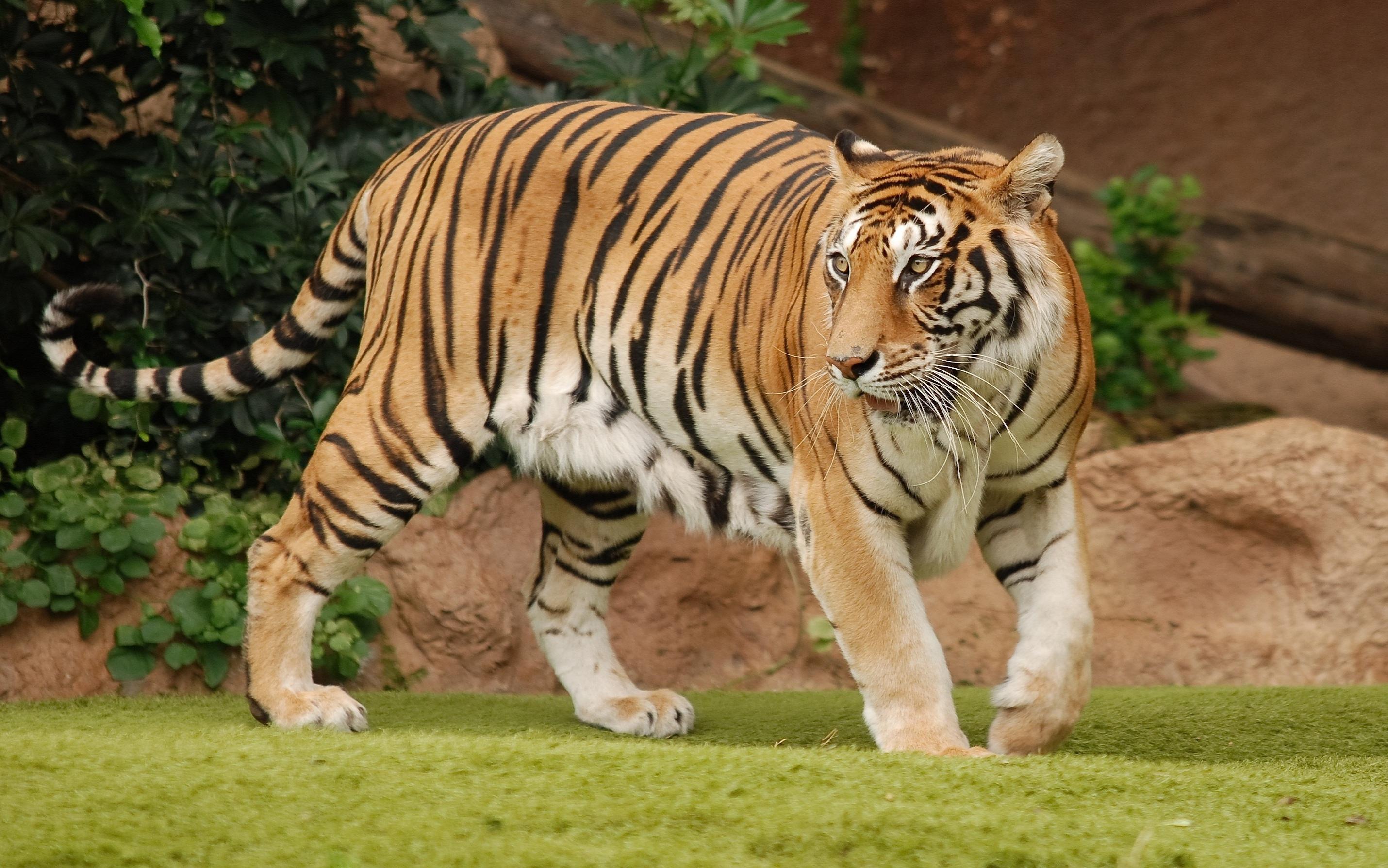 Group Of Dangerous Tiger Hd Wallpaper