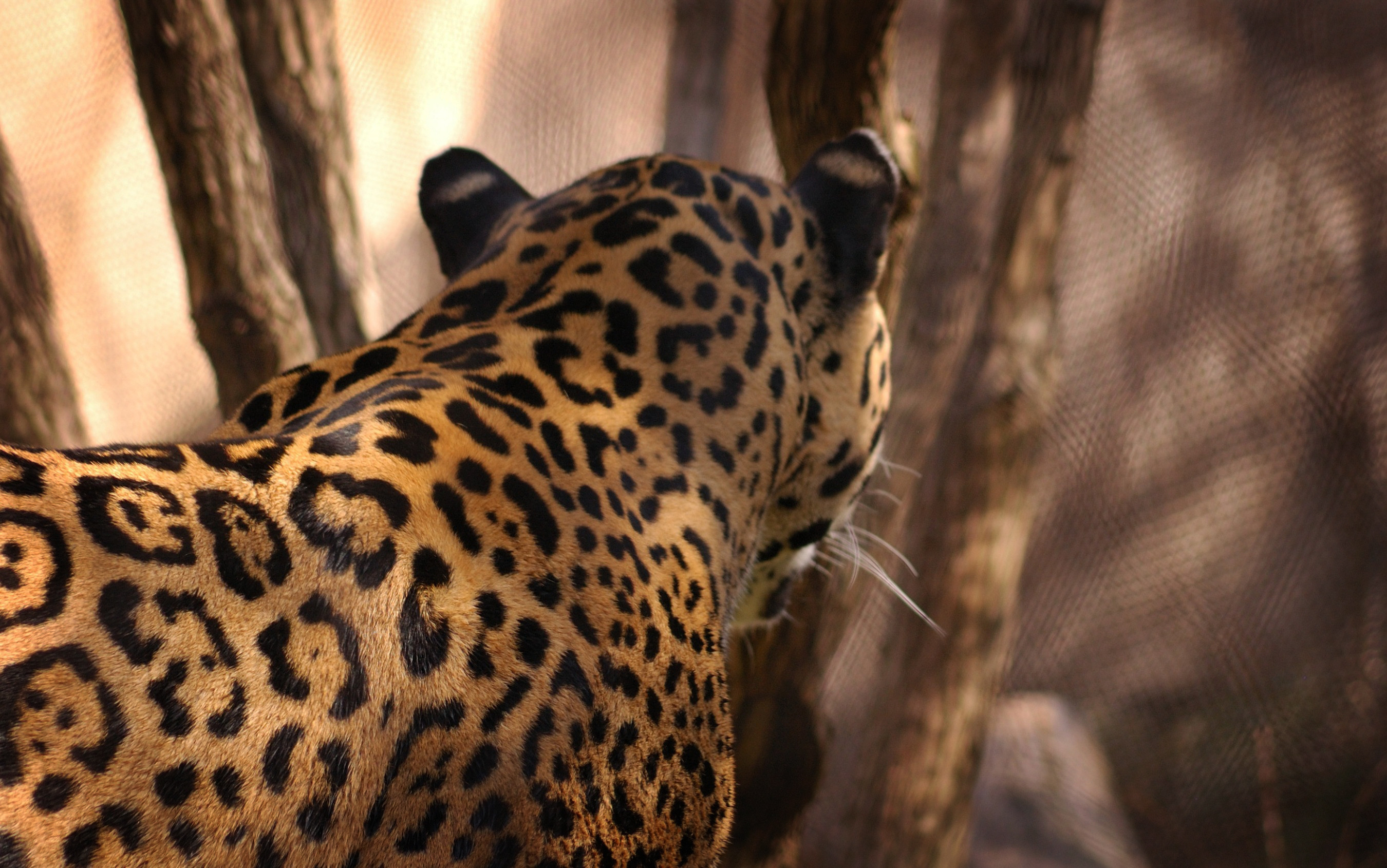 Jaguar hd wallpaper background image 2700x1690 id - Jaguar animal hd wallpapers ...