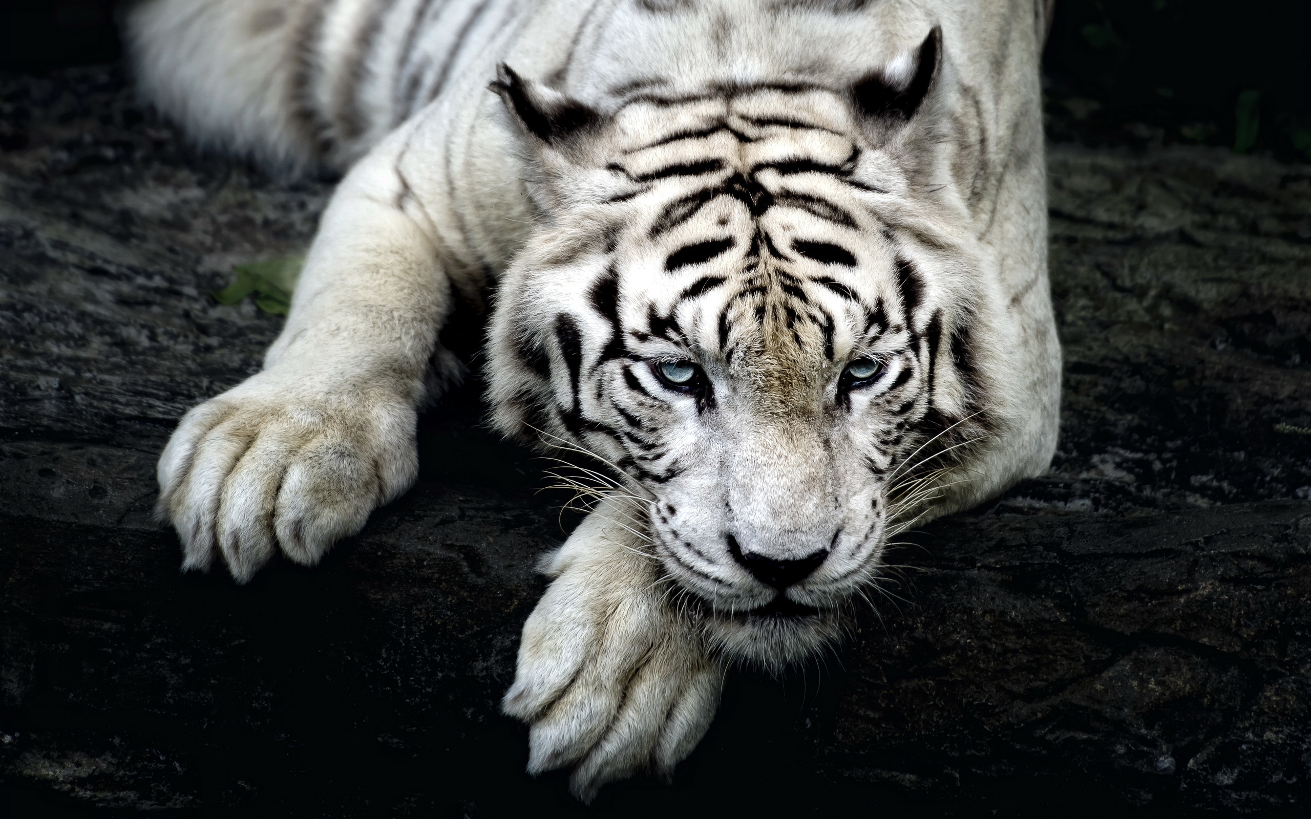 Weißer Tiger Full HD Wallpaper and Hintergrund | 2560x1600 ...