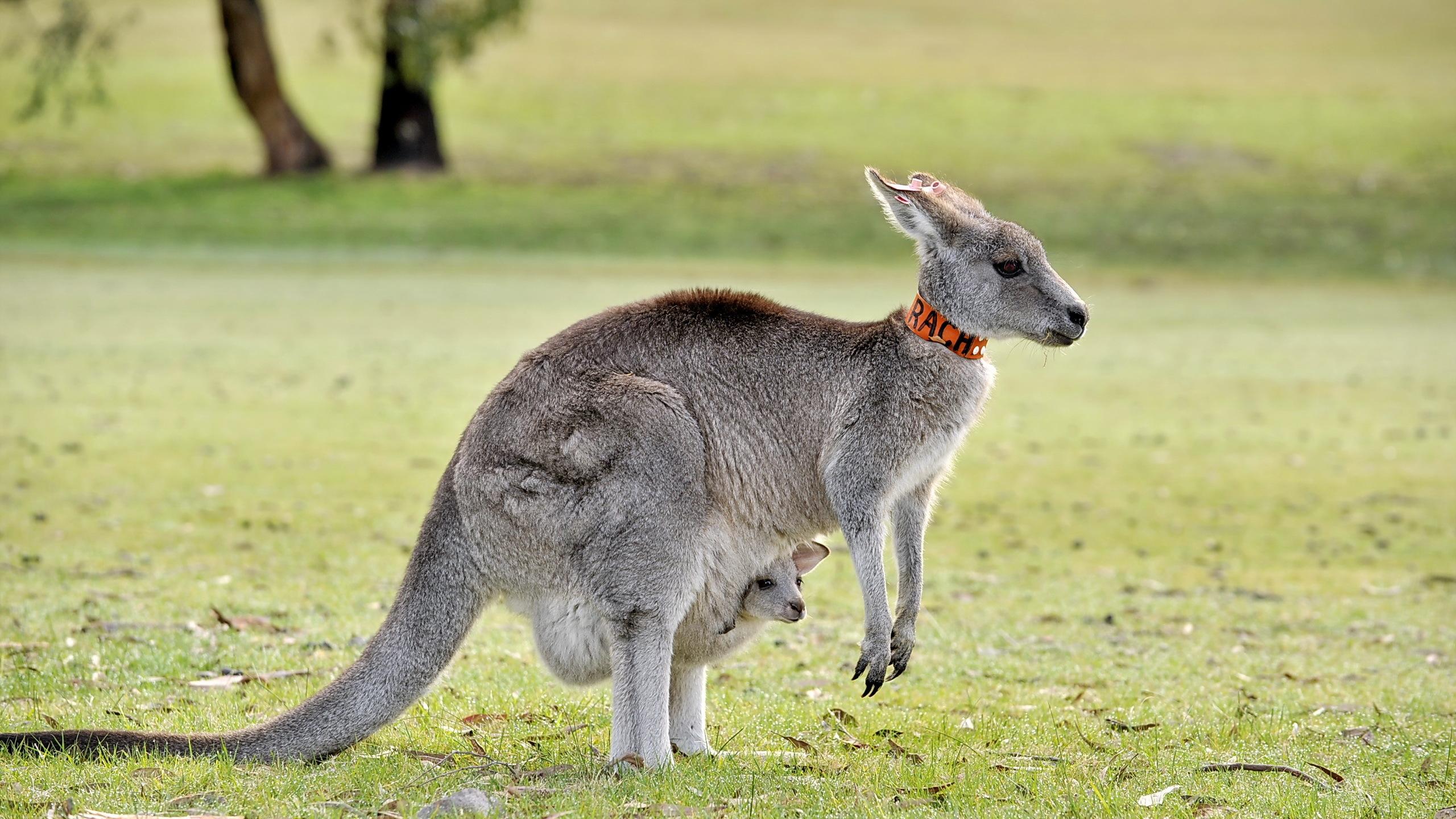 how to get a kangaroo as a pet in australia
