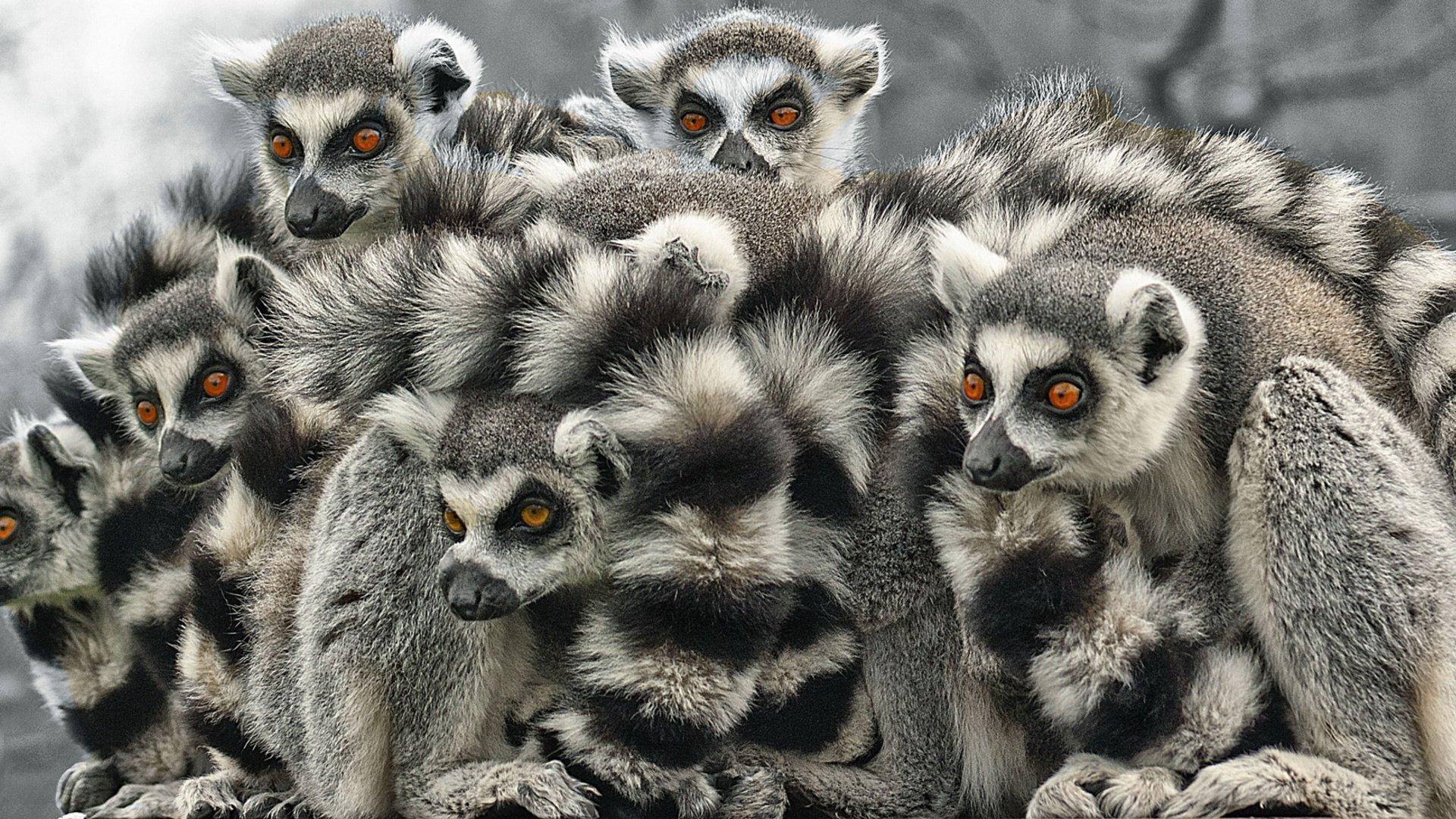 Great Lemur Wallpaper - thumb-1920-374004  Gallery_611651.jpg