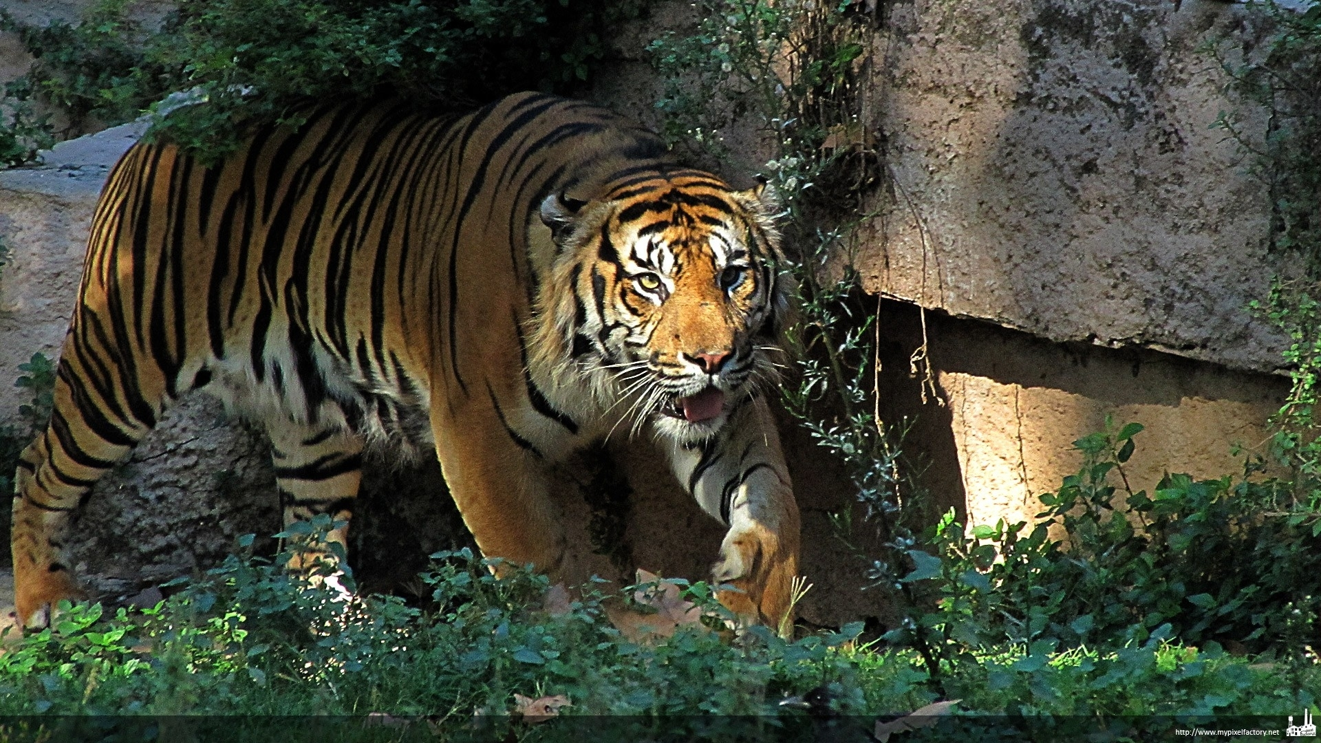 Tiger Animals Baby Animals Nature Wallpapers Hd: Tiger Full HD Wallpaper And Background