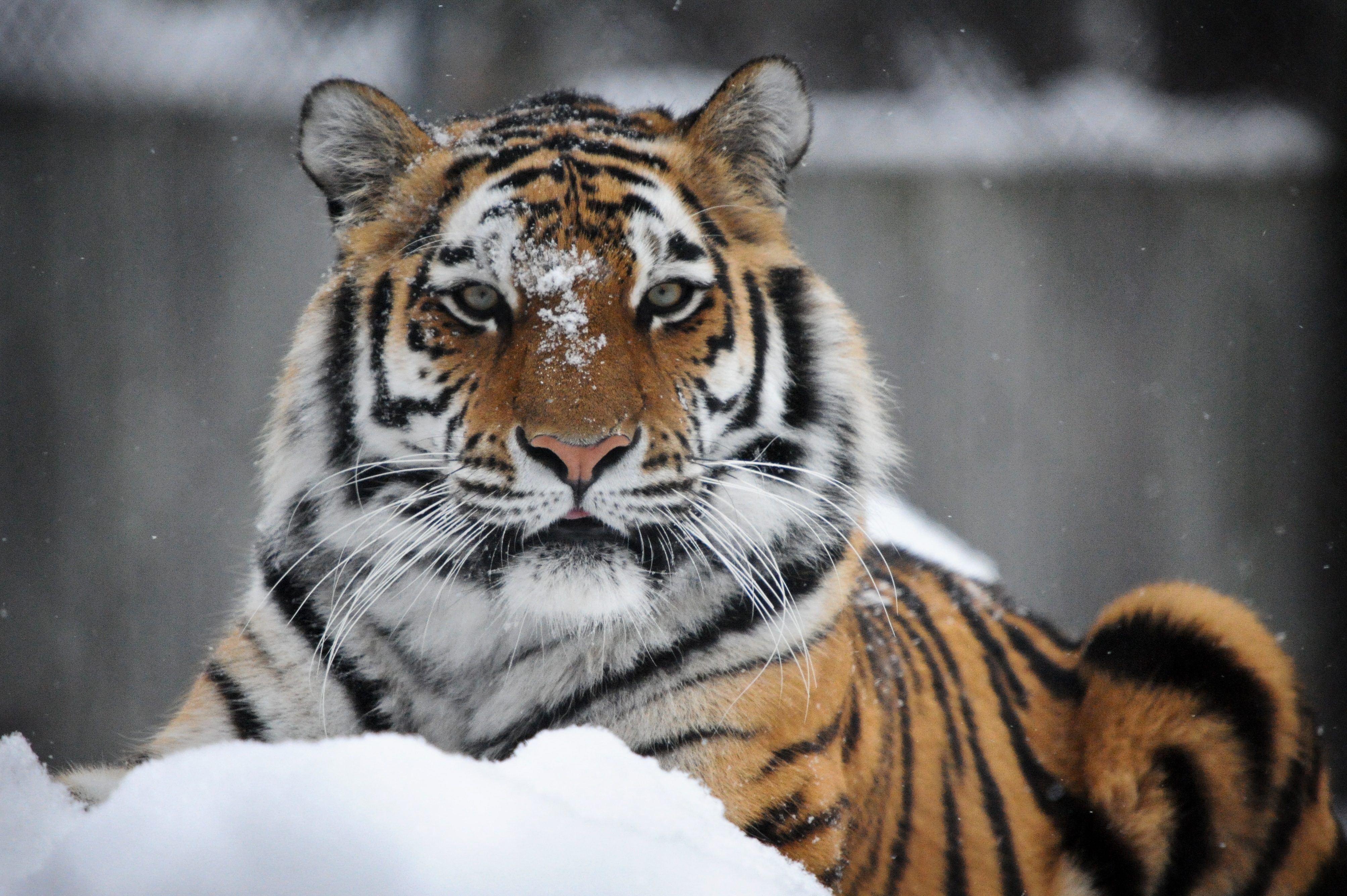 Tiger 4k ultra hd wallpaper and background image - Ultra hd animal wallpapers ...