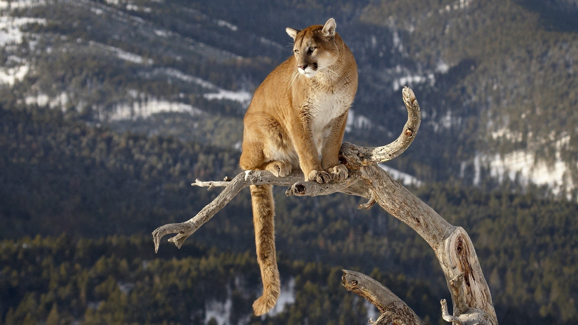 160 cougar hd wallpapers | background images - wallpaper abyss