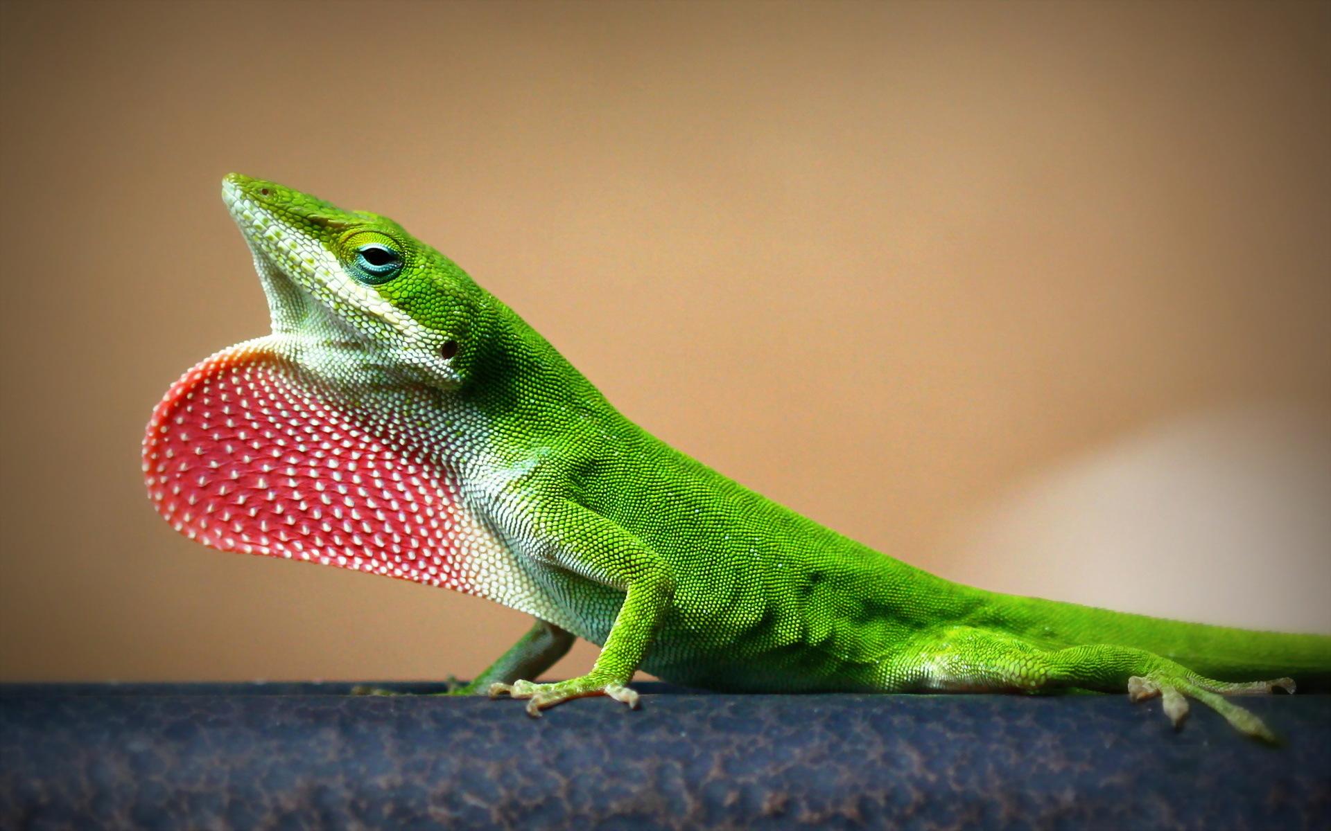 Lizard Computer Wallpapers, Desktop Backgrounds ...