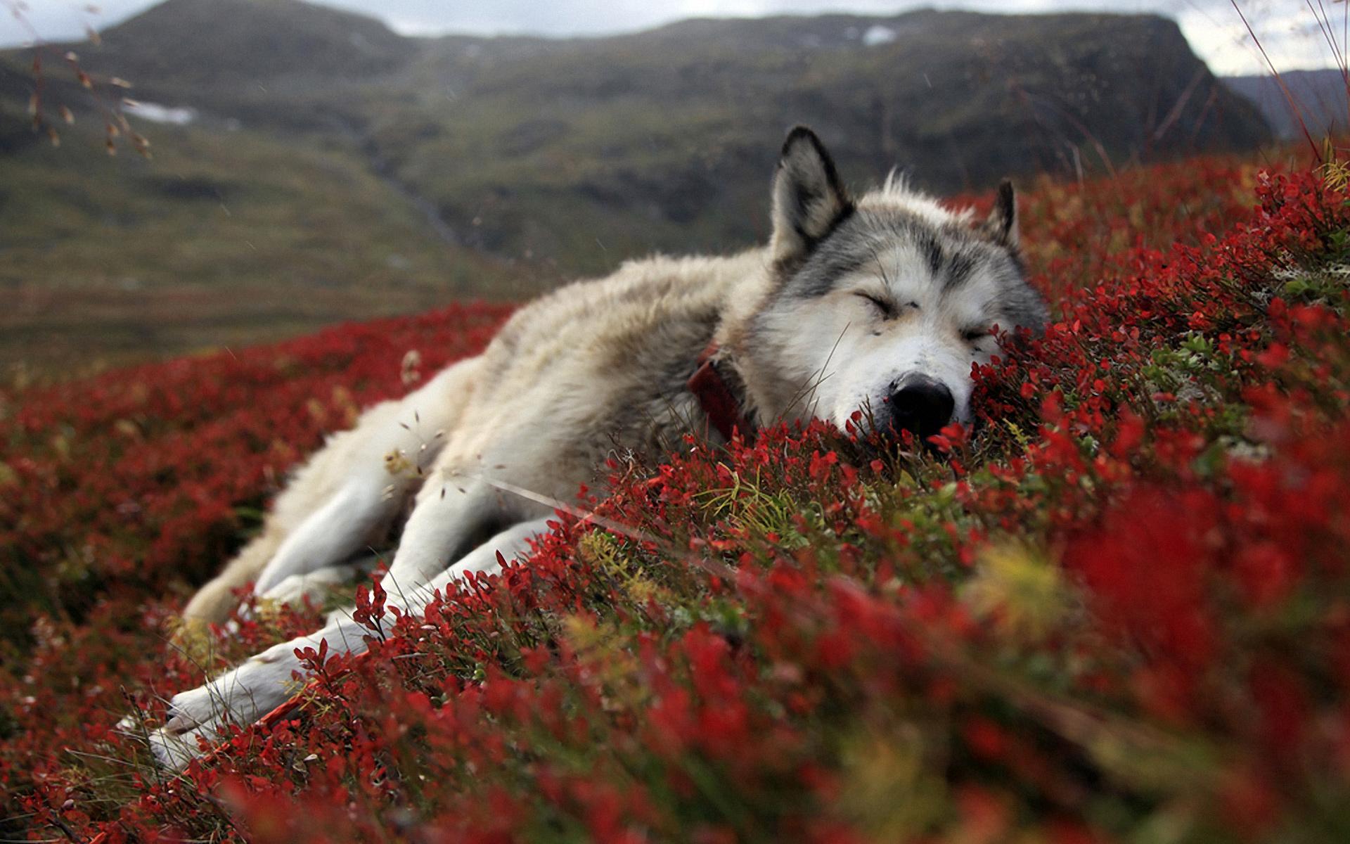 Djur - Wolf  Alaska Tundra Dog Battleship Djur Bakgrund