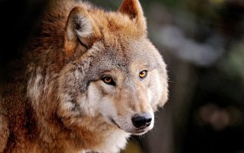 Animal - Wolf Wallpapers and Backgrounds ID : 378792