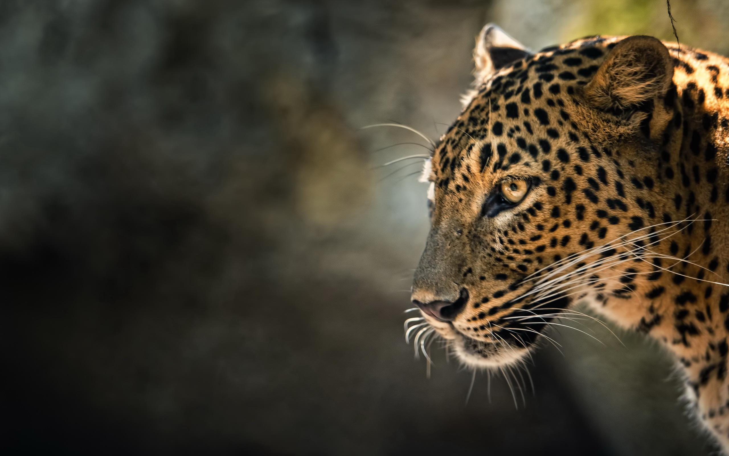 Leopard HD Wallpaper | Background Image | 2560x1600 | ID ...