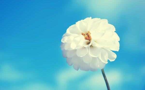 Earth Flower Flowers Dahlia White Flower HD Wallpaper | Background Image