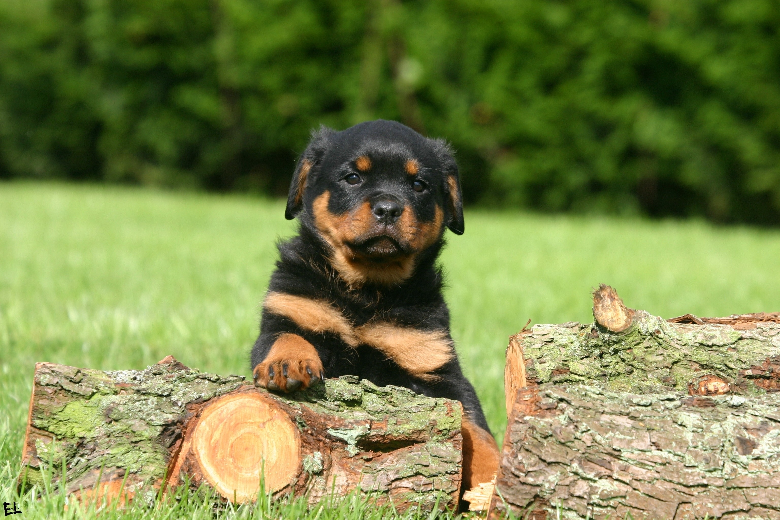 46 Rottweiler HD Wallpapers