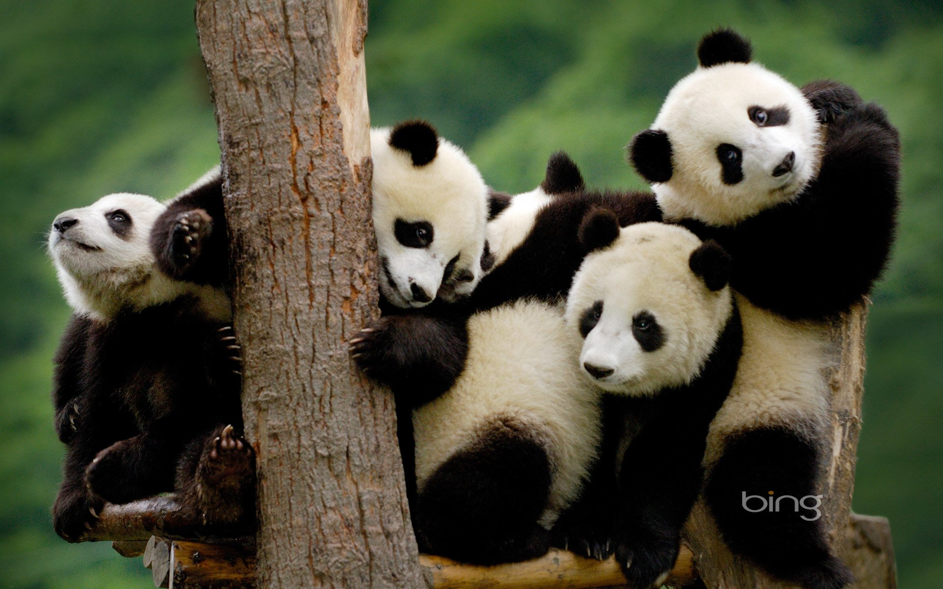 204 panda hd wallpapers | background images - wallpaper abyss