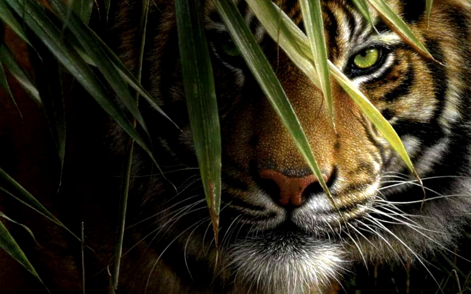 Tiger Hd Wallpaper Background Image 1920x1200 Id 380998