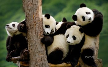 Animal - Panda Wallpapers and Backgrounds ID : 380354