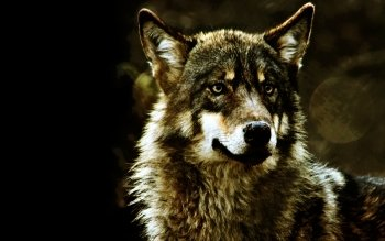 Animal - Wolf Wallpapers and Backgrounds ID : 380759