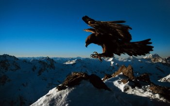Animal - Eagle Wallpapers and Backgrounds ID : 380999