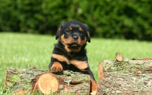 Animal Rottweiler Dogs Dog Puppy HD Wallpaper | Background Image