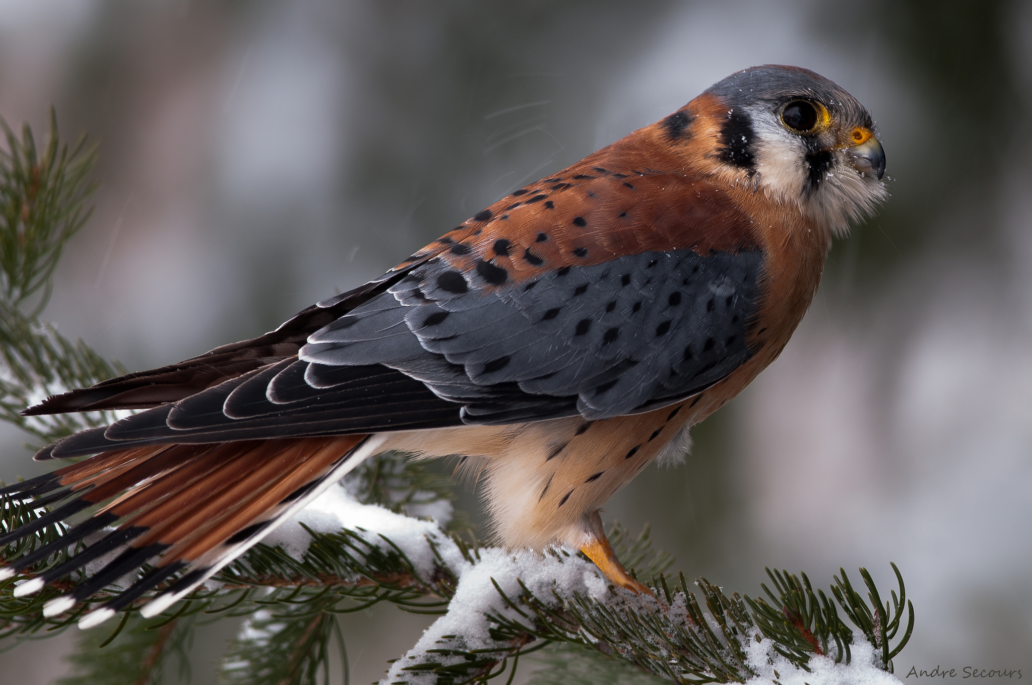 American kestrel hd wallpaper background image - Birds of prey wallpaper hd ...