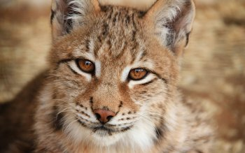 Animal - Lynx Wallpapers and Backgrounds ID : 381532