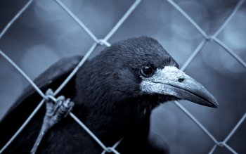 Animal - Crow Wallpapers and Backgrounds ID : 381797