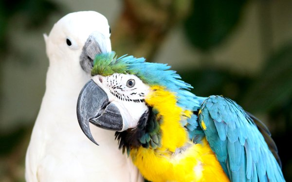 Animal Parrot Birds Parrots Blue-And-Yellow Macaw HD Wallpaper   Background Image