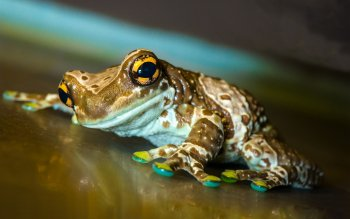 Animal - Tree Frog Wallpapers and Backgrounds ID : 383114