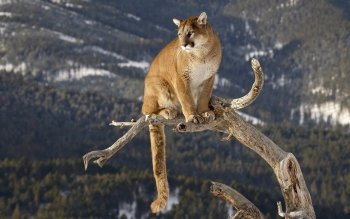 Animal - Mountain Lion Wallpapers and Backgrounds ID : 383163