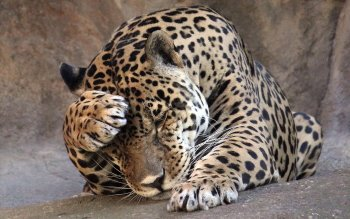 Animalia - Leopard Wallpapers and Backgrounds ID : 383367