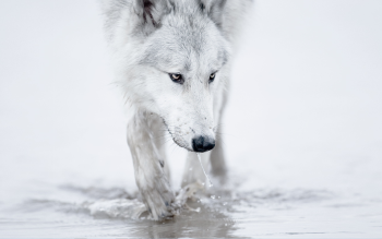 Animal - Wolf Wallpapers and Backgrounds ID : 383853