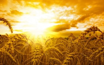 Earth - Wheat Wallpapers and Backgrounds ID : 386305