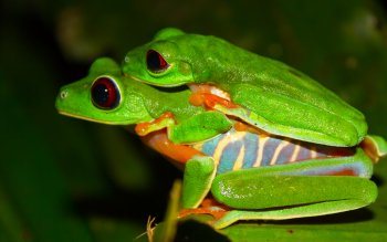 Djur - Red Eyed Tree Frog Wallpapers and Backgrounds ID : 386914