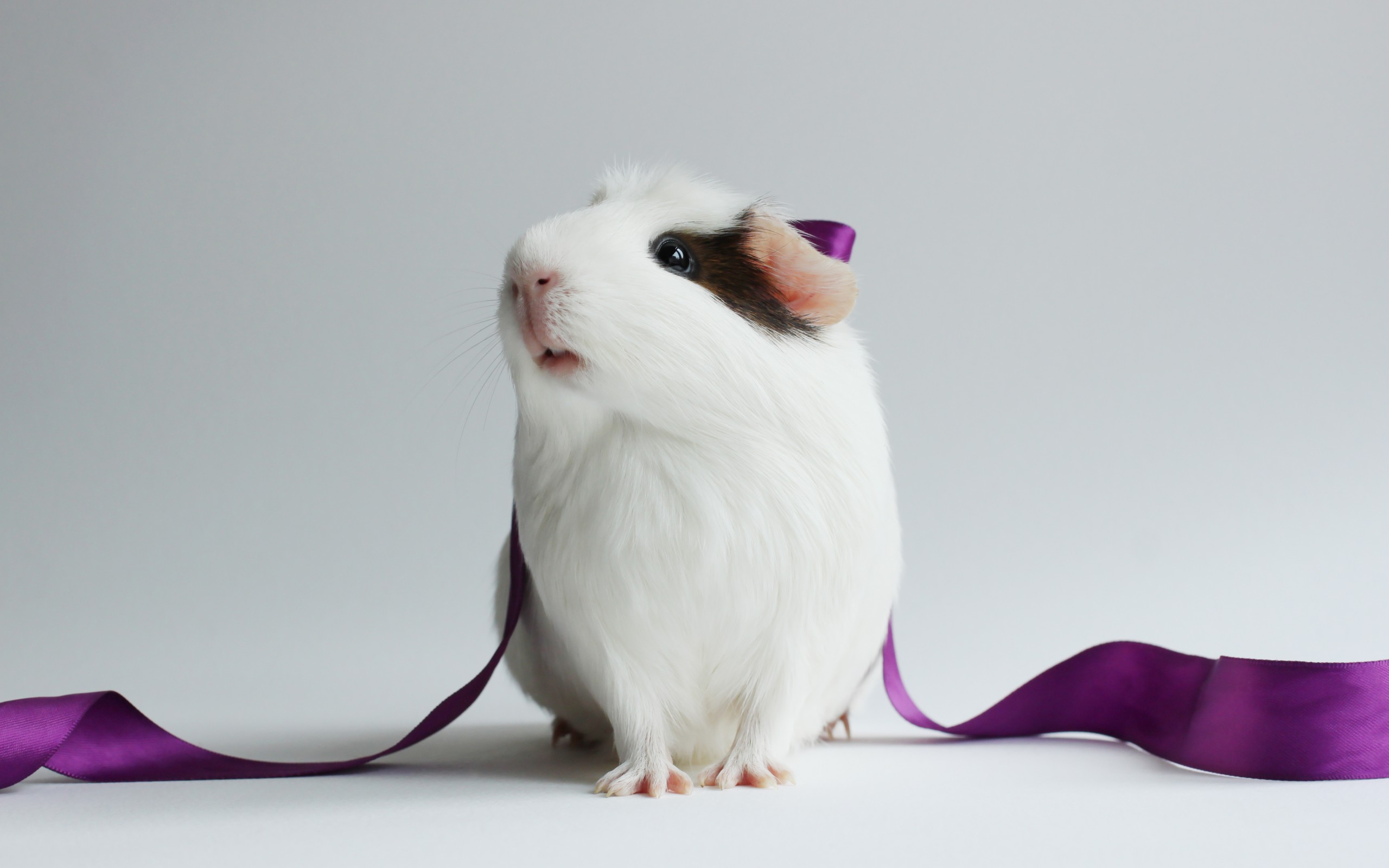Guinea Pig Full Hd Wallpaper And Background 2560x1600